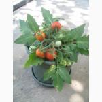 Семена томатов комнатных. 4 сорта