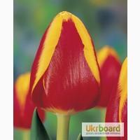 Тюльпаны в горшочках к 8 марта