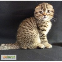 Очень добрый и нежный котик Scottish Fold, пятнистого окраса n 24, в Киеве