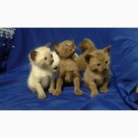 Продаются породистые бурманские котята