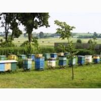 Продам пчелопакеты породы карпатка
