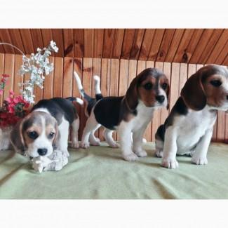 Предлагаю к продаже щенков Бигля, Реальные фото щенков