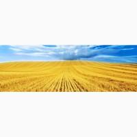 Пшеница экспорт