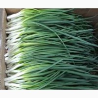 Продам зелёный лук опт