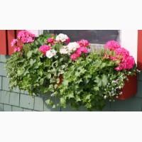 Продам саджанці герані: білі, рожеві, червоні