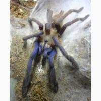 Паук Chilobrachys sp. Vietnam blue ЯД!, самка