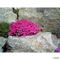 Альпийские почвопокровные растения
