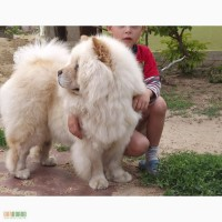 ������ ������� ������ ���-��� ��� ������, Chow Chow puppies