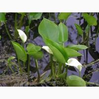 Калла болотна (водні та прибережні рослини)