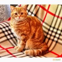 Чистокровные шотландские котики