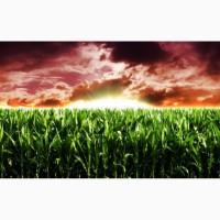 Семена подсолнуха и кукурузы