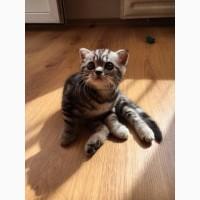Шотландские вислоухие и прямоухие котята, мраморного окраса