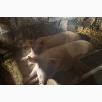 Мясо свинина домашнего откорма