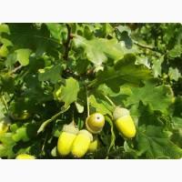 Продам саженцы Дуба и много других растений (опт от 1000 грн)