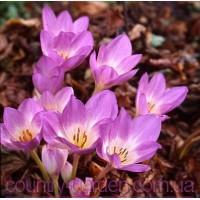 Продам луковицы Колхикума (безвременника) и много других растений (опт от 1000 грн)