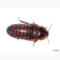 Продам Аргентинский таракан (Blaptica dubia)