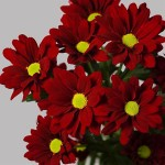 Продается укорененный черенок хризантемы из Европы
