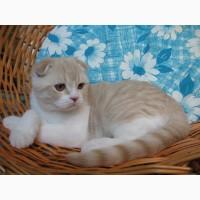 Продается котик скоттиш фолд