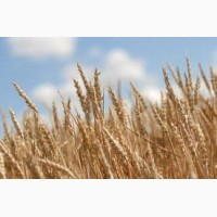 Семена озимой пшеницы Кубус, Скаген, Фабиус, Мемори, Богемия, Колония и др