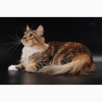 Мейн кун, очаровательные котята для шоу, для души