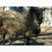 Продам вівці романоської породи