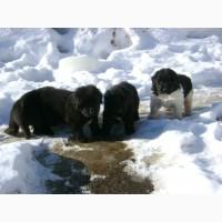 Ньюфаундленд - щенки