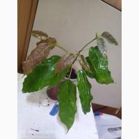 Продам фикус виренс. Ficus virens