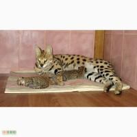Сервал ручные котята