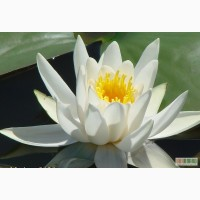 Продам водяные лилии, кувшинки ,нимфеи