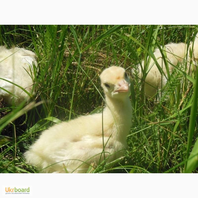 цыплята биг 6 фото