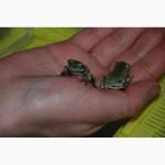 Австралийская квакша, ручные домашние квакши