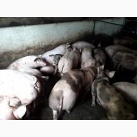 Свині живою вагою оптом і в роздріб