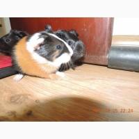 Продам малят морських свинок