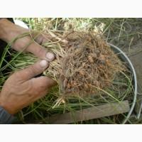 Чуфа( земляной миндаль )для посадки и еды урожай 2017