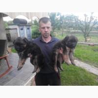 Продам щенки немецкой овчарки (дш)