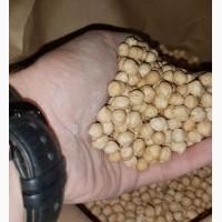 Продам семена ярого нута HOPE, канадский трансгенный сорт