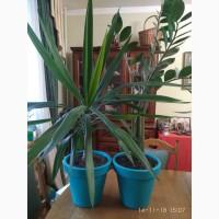 Комнатные растения для дома и офиса, Юкка