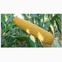 ОНІКС насіння кукурудзи (ФАО - 350)
