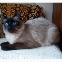 Кошечка породы меконгский бобтейл