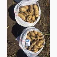 Продам картофель сорт Гранада