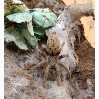 Паук Pterinochilus lugardi ЯД!, самка