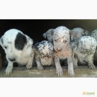 Продам щенков далматинца
