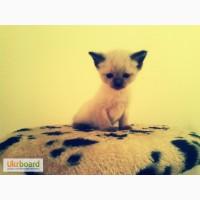 Бронь.Чистокровные тайские котята