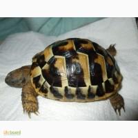 Черепашка Германна або грецька ручна черепаха розміром 10-14 см
