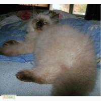 Котята регдолл, Голубоглазые пушистые добрые котята