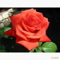 Роза эфирное масло розы розовое масло в Киеве