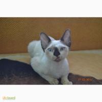 Хороший друг для семьи котёнок породы Девон-рекс