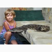 Крокодил Нильский 125 см и 85 см