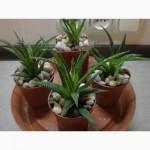 Комнатное растение - хавортия