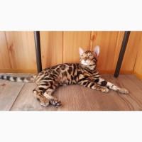 Бенгальские котята. Продажа бенгальских котят. Киев